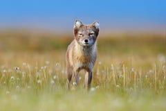 Fox ?rtico, lagopus do Vulpes, retrato animal bonito no habitat da natureza, prado gram?neo com flores, Svalbard, Noruega Bonito imagens de stock