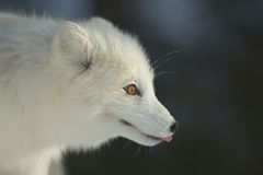 Fox ártico no inverno Fotos de Stock Royalty Free
