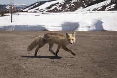 Fox Running Across Road Stock Image