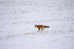 Fox running across snow. Red fox running across snow covered farmland Stock Photos