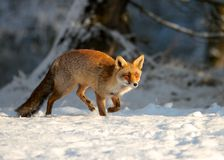 Fox running Royalty Free Stock Photography