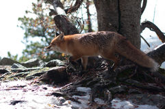 Fox salvaje Foto de archivo