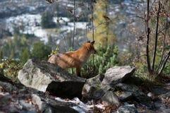 Fox salvaje Fotografía de archivo