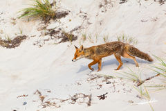 Fox at Sand Dune Stock Photo