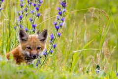 Fox-Satz u. wilde Blumen. Stockfoto
