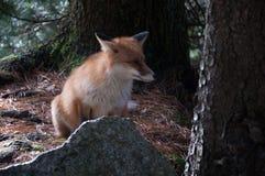 Fox sauvage images libres de droits
