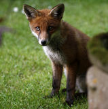 Fox sauvage Cub Photo stock
