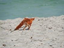 Fox sauvage sur le sable en Tunisie un temps clair chaud photographie stock libre de droits