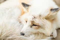 Fox-Schlafen Stockbilder