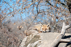 Fox se trouvant sur une roche se reposant sous le soleil chaud Photographie stock libre de droits