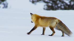 The fox seek food is deep beneath the snow. He listens carefully to pinpoint his target. South Africa royalty free stock photos