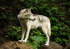 Fox selvagem que olha para trás Imagens de Stock Royalty Free