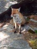 Fox selvaggio Fotografie Stock Libere da Diritti