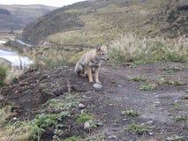 Fox selvaggio fotografie stock