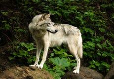 Fox selvaggio che guarda indietro Immagini Stock Libere da Diritti