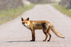 A fox from the side standing on the middle of the road stock photos