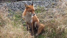 Fox siedzi blisko linii kolejowej Obrazy Royalty Free