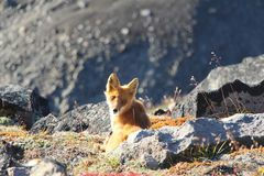 Fox sits by stone on the slope of hill and looks in camera royalty free stock images
