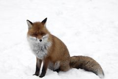 Sitting fox. Fox sitting down in white snow Royalty Free Stock Photography