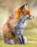 Fox sitting in grass. European Fox (Vulpes vulpes) sitting in grass and looking sideways stock images