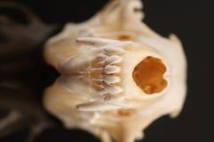 Fox Skull Stock Photography