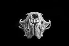 Fox skull Royalty Free Stock Photo