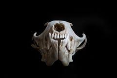 Fox skull Royalty Free Stock Photos
