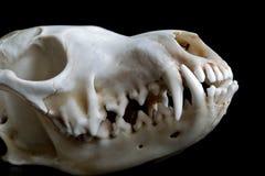 Fox skull Stock Images