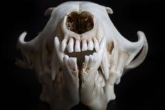 Fox skull Stock Photo