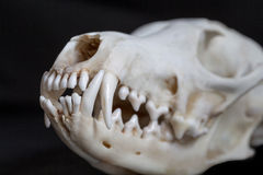 Fox skull Stock Photos