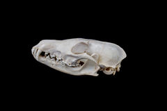 Fox skull Stock Photo