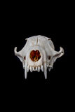 Fox skull Royalty Free Stock Photos