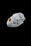 Fox skull Stock Photos