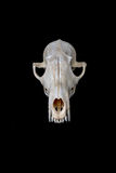 Fox skull Royalty Free Stock Photo