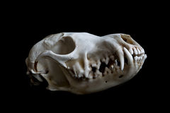 Fox skull Stock Images