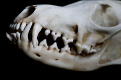 Fox skull Royalty Free Stock Photography