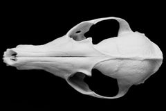 Fox skull without the lower jaw on a black background, contrast and minimalistic Stock Photos
