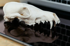 Fox skull without the lower jaw on the laptop keyboard. Concept of the dangers of IT Tehology and Artificial Royalty Free Stock Photography