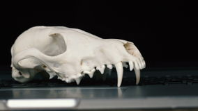 Fox skull without the lower jaw on the laptop keyboard. Concept of the dangers of IT Tehology and Artificial. Intelligence stock video footage