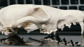 Fox skull without the lower jaw on the laptop keyboard. Concept of the dangers of IT Tehology and Artificial. Intelligence. Reflection stock video footage
