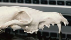 Fox skull without the lower jaw on the laptop keyboard. Concept of the dangers of IT Tehology and Artificial. Intelligence. Reflection stock footage