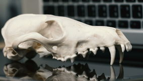 Fox skull without the lower jaw on the laptop keyboard. Concept of the dangers of IT Tehology and Artificial. Intelligence. Reflection stock video