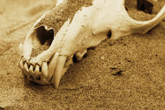 Fox skull Royalty Free Stock Images