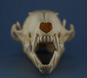 Fox skull teeth close up Royalty Free Stock Photography