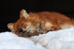 Fox sleeping. This little fox is sleeping beside snow Royalty Free Stock Photography