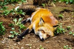 Fox sleeping on ground