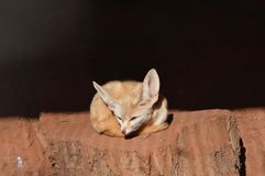 Lil fox. The fox is sleepy Stock Photography