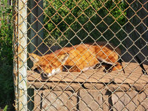 Fox in a small cage at a private zoo Royalty Free Stock Images
