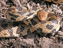 Fox Snake. Coiled to strike out Stock Photo