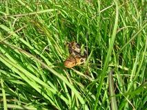 Fox snake peers through grass Stock Photo